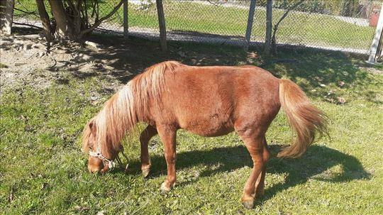 Prodajem ponija bosanca
