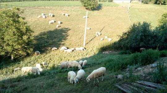 Na prodaju stado od 16 ovaca
