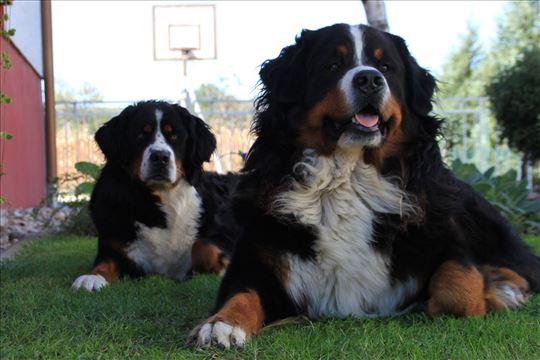 Bernski pastirski pas, štenci
