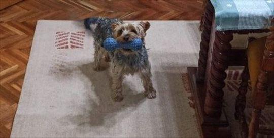 Jorkširski terijer, odrastao pas