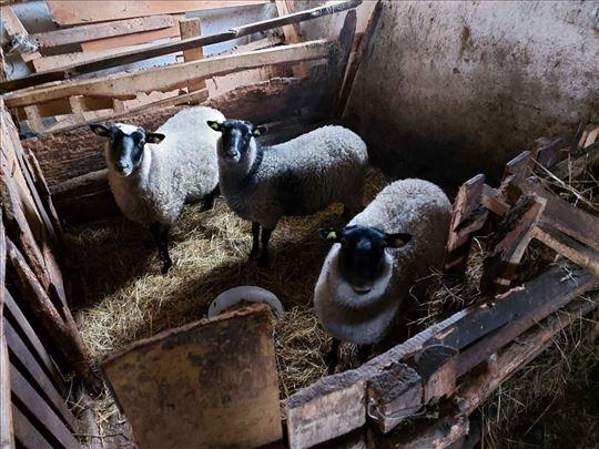 Romanove ovce prodaja