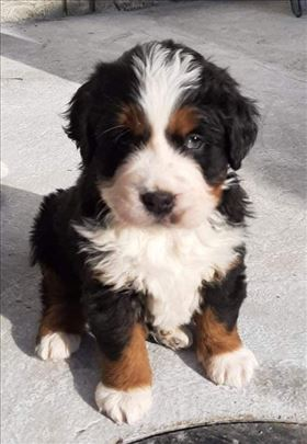 Bernski pastirski pas, muško štene