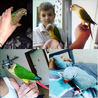 Rezervacije za ručno hranjenih papagaja