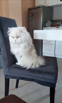 Persijska , odrasla mačka za parenje