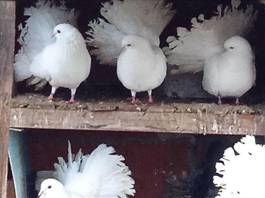 Prodaja goluba lepezana