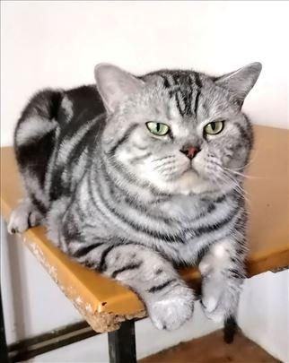 Britanska kratkodlaka, odrasla mačka