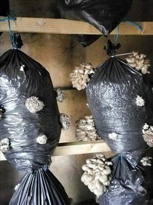 Prodajem zasejane dzakove micelijuma seme Bukovace