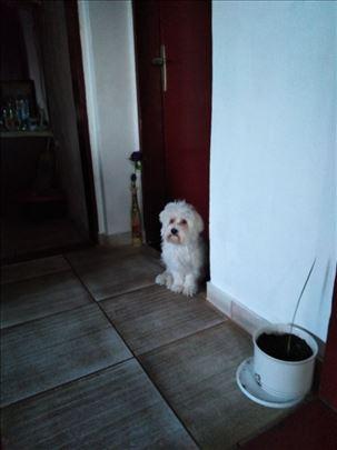 Maltezer , mlad pas