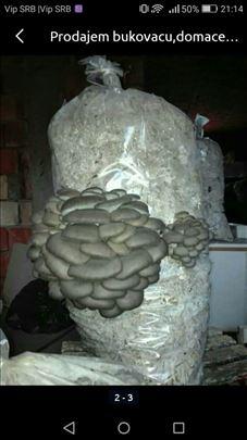 Bukovaca zasejani dzakovi semenom