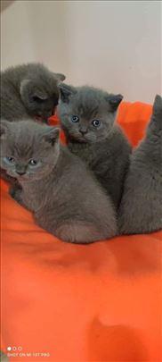 Britanska kratkodlaka, mlada mačka