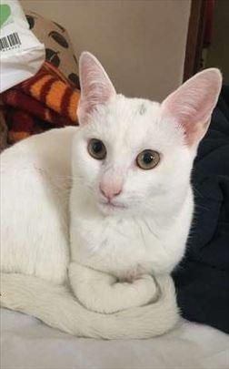 Domaca, mlada mačka