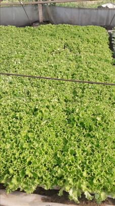 Rasad-Garone salata kristalka