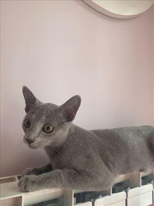 Nestala ruska plava mačka
