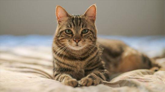 Čuvanje mačaka, Niš