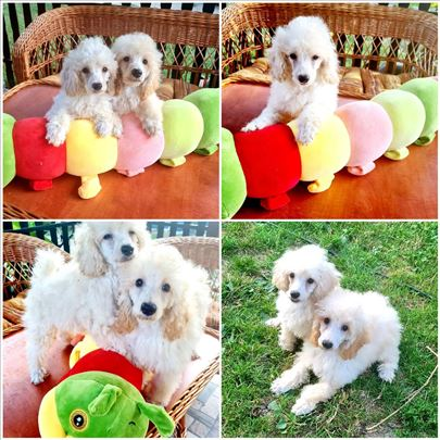Pudle bele patuljaste i toy ženska i muška štenad