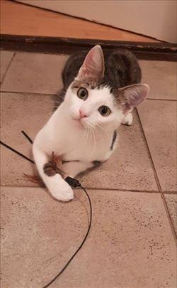 Lepi Sajmon mačkić star 6 meseci traži dom