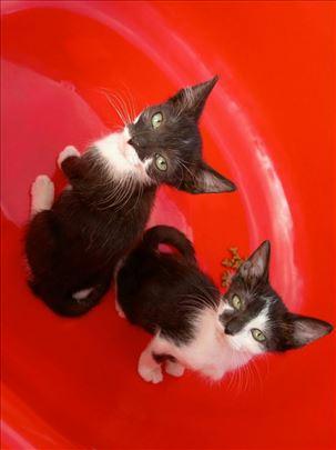 Mešanac, mačiči