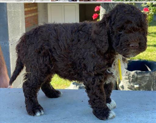 Lagoto romanjolo štenci na prodaju cena 200e-400e