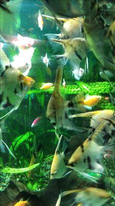 Akvarijumske ribice Skalari