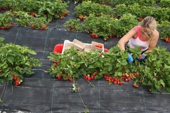 Sezonci u Srbiji – izuzetno traženi, zarada i do 4.000 dnevno