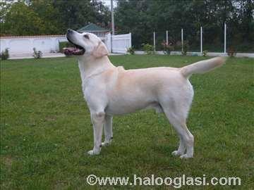 Labrador, parenje