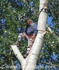 Seča stabala