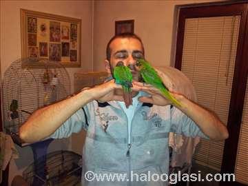 Braunouhi papagaji