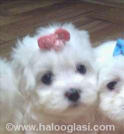 Minijaturni štenci maltezera