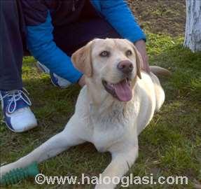 Labrador spreman za parenje