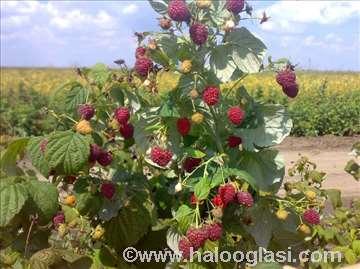 Malina polana sertifikovane sadnice