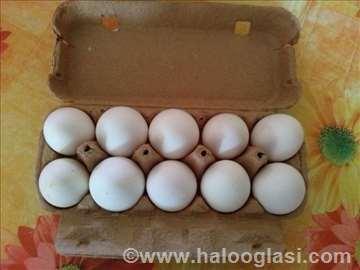 Leghorn jaja za nasad