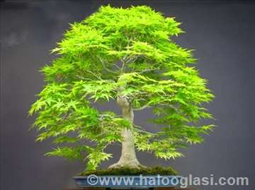 Bonsai dawn redwood seme