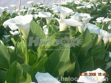 Salaš sa proizvodnjom rezanog cveta- kala
