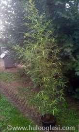 Zlatni bambus-Sadnice sa busenom