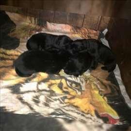 Mešanac, štene, 2 meseca