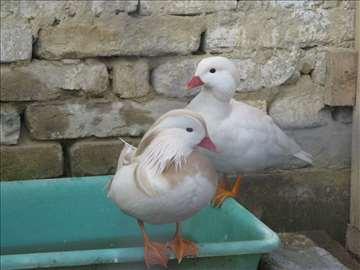 Mandarinske bele patke