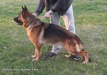 Nemački ovčar Atila Bono Vox slobodan za parenje
