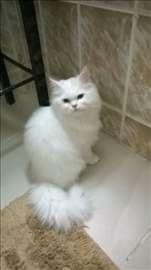 Persijska, mlada mačka
