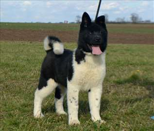 Akita, štene