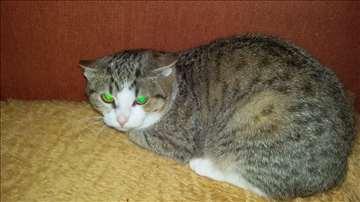 Mešanac, mlada mačka