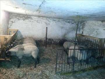 Romanovski ovnovi i muška jagnjad na prodaju