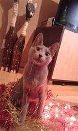 Rusko plava mačka za parenje, hitno