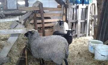 Prodaja ovaca