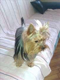 Jorkširski terijer, mlad pas