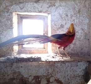 Carski ukrasni fazan