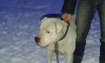 Argentinski pas, odrastao pas