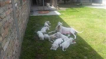 Dogo Argentino štenci na prodaju