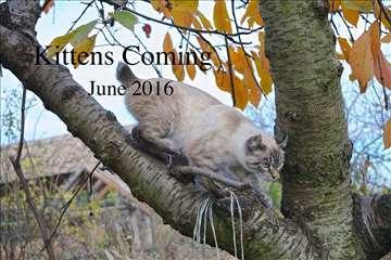 Američki hajlender, mlada mačka