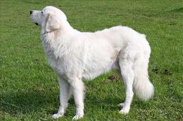 Štenci maremano abruceškog pastirskog psa