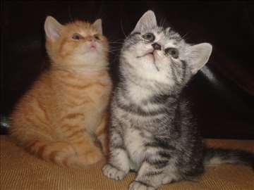 Prodaja britanskih  mačića